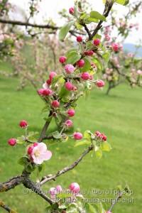 Цъфнала ябълка