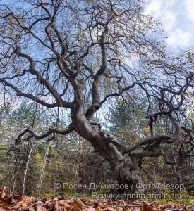 Кривото дърво над Копривщица